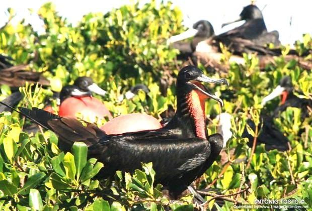 Frigate birds red poach mangroves