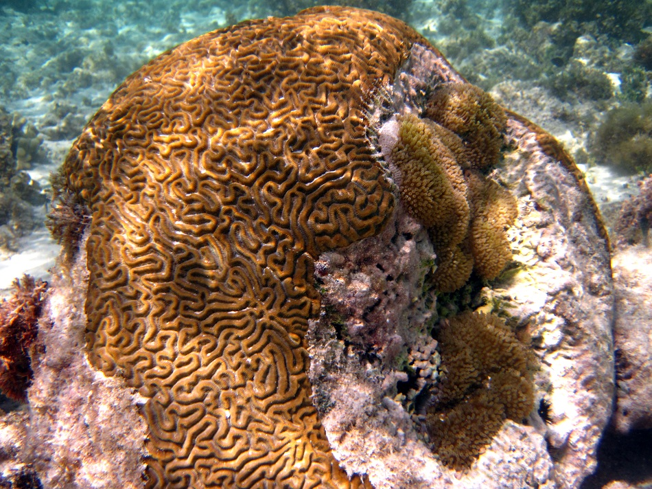 Bleaching effect on Brain Coral