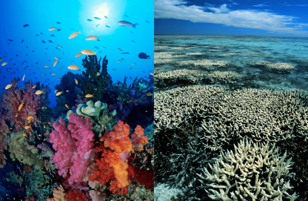 Coral Bleaching Effect