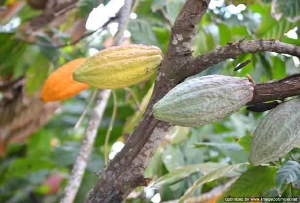 Cacao tree, Dominican Republic