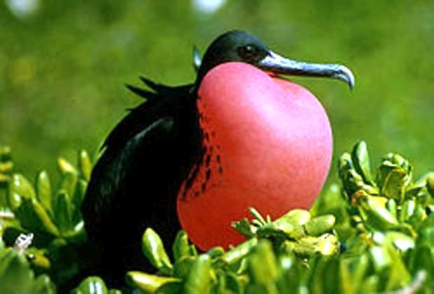 Frigate bird encounter on our 2 Island excursion