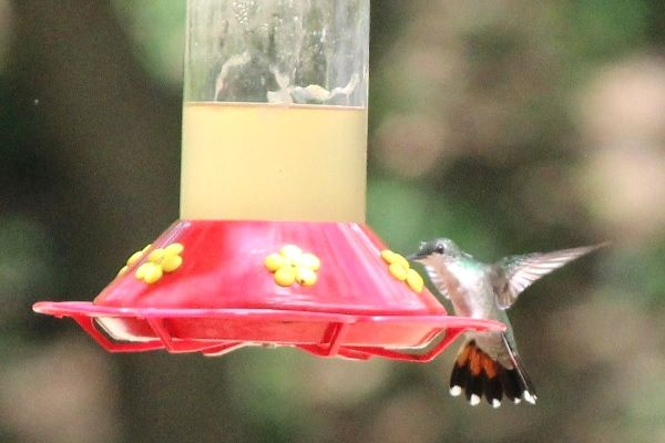 Hummingbird drinking at the feeder
