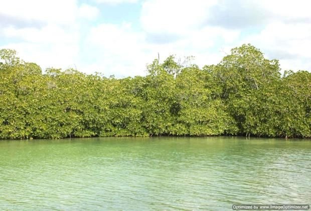 Mangrove forest near Bayahibe large
