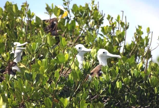 Frigate birds in the mangroves in our Saona excursion