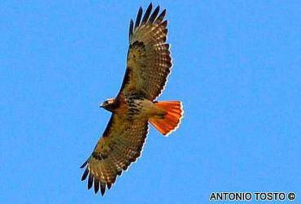 Red-tailed Hawk (Buteo jamaicensis) above Chavon