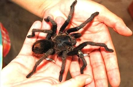 Who dares to hold the tarantula?