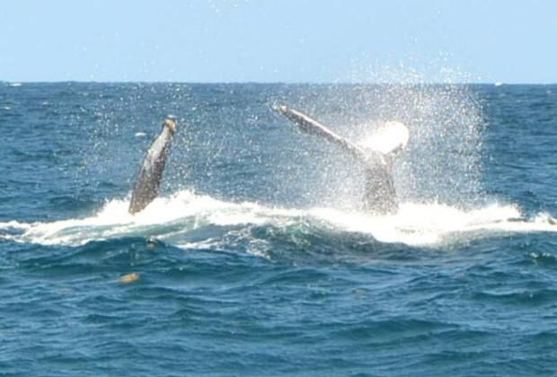 Humpback Whales - tail slapping